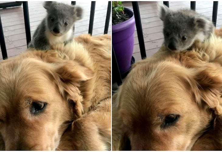 Un Golden Retriever salva la vida de un koala bebé